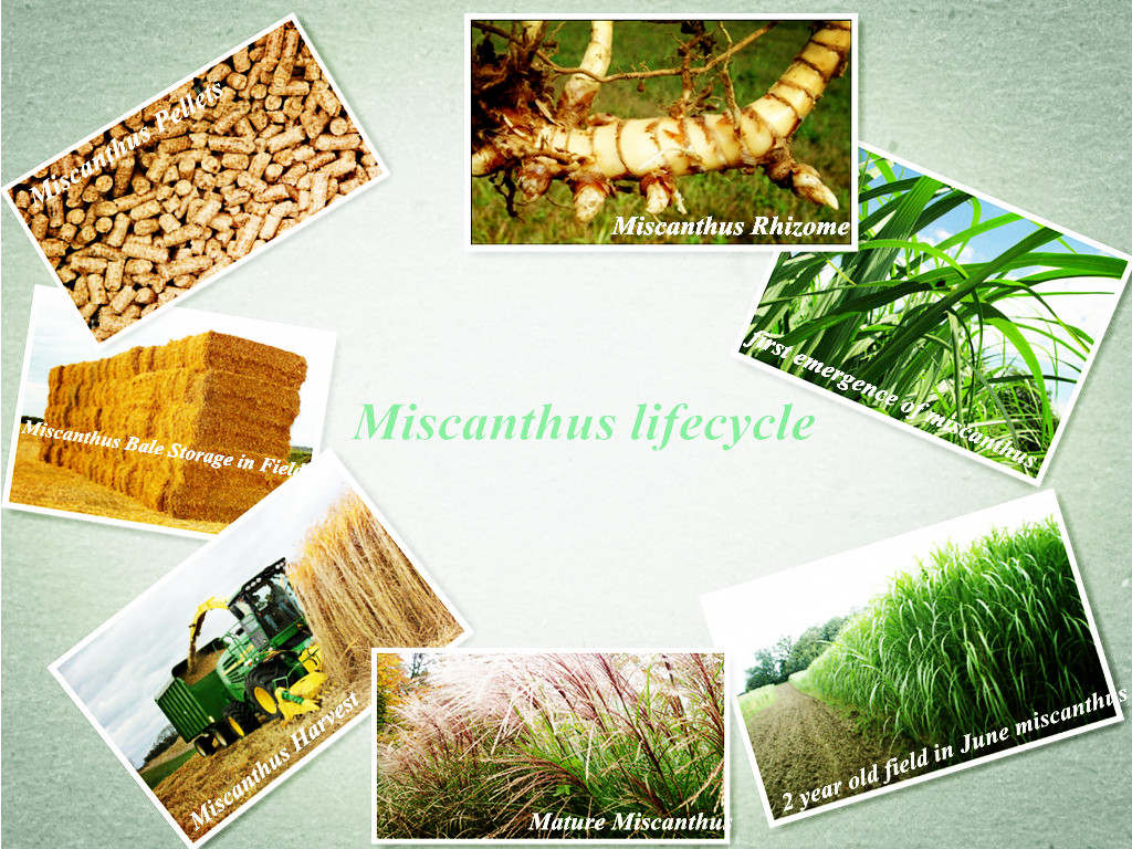 miscanthus lifecycle