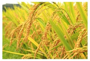 Feasibility Analysis of Rice Husk Pelletizing
